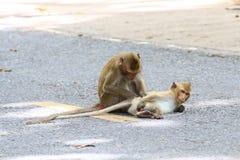 Reizende Affen, lustiger Affe Stockfoto
