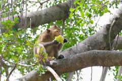 Reizende Affen, lustiger Affe Lizenzfreies Stockbild