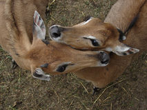 Reizende Antilope Stockfoto