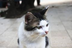 Reizende Augen der Haustierkatze, die Aufmerksamkeit schauen lizenzfreie stockfotos