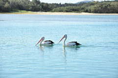 Reizende australische Pelikane im See Lizenzfreies Stockfoto