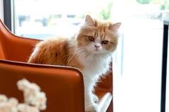 Reizende braune persische Katze sitzen auf dem Stuhl in einer Kaffeestube Stockfotos