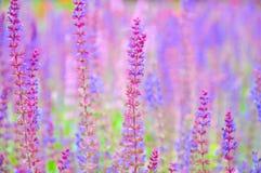 Reizende Farben der Lavendelblume auf dem Gebiet lizenzfreies stockbild