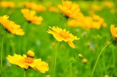 Reizende Farben von gelben Blumen auf dem Gebiet lizenzfreies stockfoto