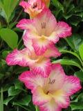 Reizende farbige rosa Gladiole Lizenzfreies Stockbild