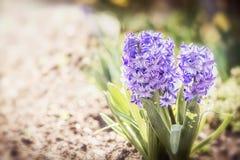 Reizende Frühjahr Hyazinthen blüht auf Blumenbett im Garten oder im Park, mit Blumenim Freien lizenzfreie stockbilder