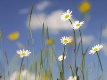 Reizende Gänseblümchen mit blauen Himmeln, weiße geschwollene Wolken Stockfotografie