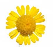 Reizende gelbe Blume Stockfoto