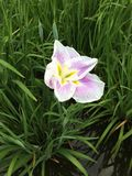 Reizende Iris Stockfotografie