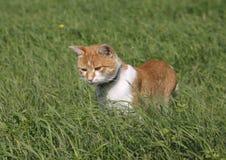 Reizende Kätzchenjagd der getigerten Katze auf dem Rasen Stockbilder