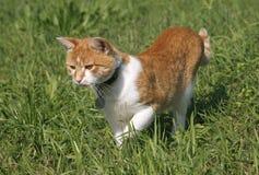 Reizende Kätzchenjagd der getigerten Katze auf dem Rasen Lizenzfreies Stockfoto