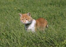 Reizende Kätzchenjagd der getigerten Katze auf dem Rasen Lizenzfreie Stockfotos