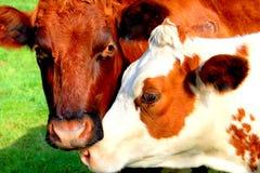Reizende Kühe Lizenzfreie Stockfotos