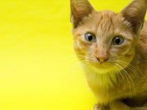 Reizende Katze auf gelbem Hintergrund Lizenzfreies Stockbild