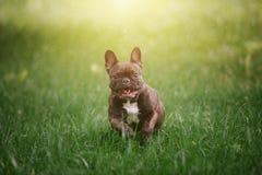 Reizende nette französische Bulldogge läuft entlang das grüne Gras über dem Feld in den Strahlen des hellen Sonnenscheins Hund au Stockfotografie