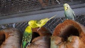 Reizende Paare von den Papageien, die sich küssen stock footage