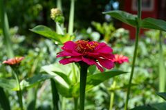 Reizende rosa Blume im Garten Lizenzfreie Stockfotos