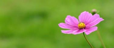 Reizende rosa Feldblume, die im Sommer blüht stockfoto