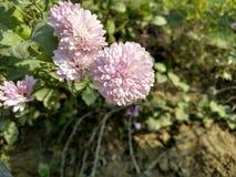 Reizende rosafarbene Blumen Stockbilder