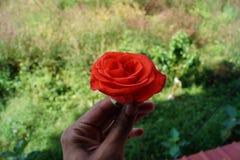 Reizende rote Rose in der Hand Stockfotos