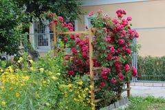 Reizende rote Rosen wachsen nahe dem Haus auf einem hölzernen Gitter Stockfotografie