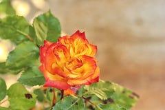 Reizende rote und gelbe Rose Stockfoto