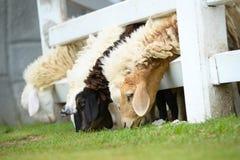 Reizende Schafe Stockfoto