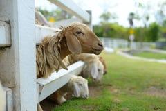 Reizende Schafe Stockbild