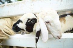 Reizende Schafe Lizenzfreies Stockfoto