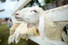 Reizende Schafe Stockbilder