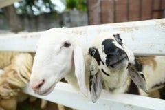 Reizende Schafe Lizenzfreie Stockfotos