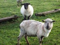 Reizende Schafe bei Crookham, Northumberland Großbritannien stockfotos