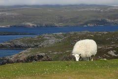 Reizende Schafe in Schottland Stockbild
