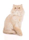 Reizende stehende cremefarbene persische Katze stockbild