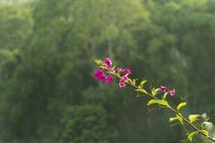 Reizende tropische purpurrote Blume mit Bokeh-Hintergrund stockfotos
