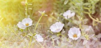Reizende weiße Mosssrose, Purslane- oder Lichtpflanzeblume in träumerischem Stockbild