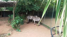 Reizende Zebras an Dehiwala-Zoo lizenzfreies stockbild