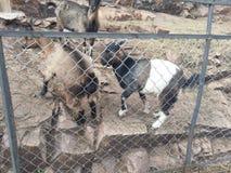 Reizende Ziege draußen hinter den Stangen im zoologischen Garten lizenzfreie stockbilder