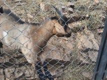 Reizende Ziege draußen hinter den Stangen in zoologischer Garten foto lizenzfreies stockbild