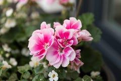 Reizende zweifarbige Rosenblüten Stockbild