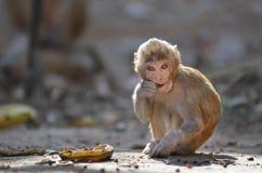 Reizender Affe isst Banane Lizenzfreie Stockfotografie