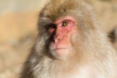 Reizender Affe in Japan Stockbild