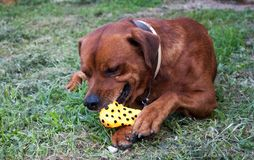 Reizender brauner Hund, der auf dem Gras spielt mit einem Knochenspielzeug sitzt stockfotos