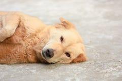 Reizender brauner Hund legt Lizenzfreie Stockfotos