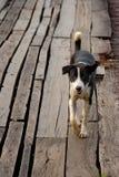 Reizender Brown-Hundeweg auf der Holzbrücke Lizenzfreie Stockfotografie