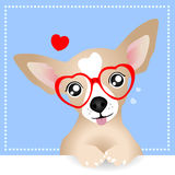 Reizender Chihuahua-Hund Stockbild