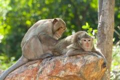 Reizender Fallhammer (Lang-Angebundener Macaque) säubernd Stockbild