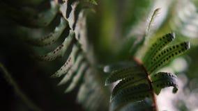 Reizender Farn Houseplant mit den stacheligen und dünnen Blättern, die Innen wachsen stock video