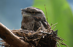 Reizender Gray Feathered Tawny Frogmouth Bird lizenzfreie stockbilder