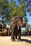 Reizender großer Elefant, Ayutthaya Thailand stockfoto